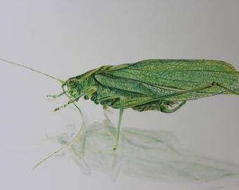 Katydid insect drawing