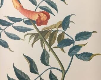 Bignonia crossvine 1950s art print - based on painting by Georg Erhet, German botanist, A3, flora, flower, plant,