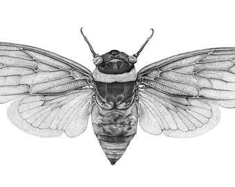 Cicada specimen science illustration prints, pen and ink pointillism drawing, entomology art print, black white stippling, insect bug wings