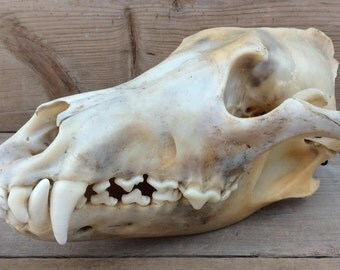 Wolf Skull Real Authentic Canis Lupus