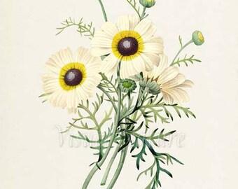 Painted Daisy Flower Art Print, Botanical Art Print, Flower Wall Art, Flower Print, Floral, Redoute, yellow, white, Chrysanthemum carinatum