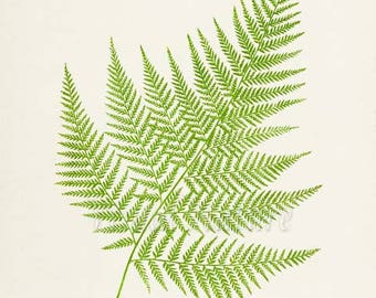 False Shield Fern Art Print, Botanical Art Print, Fern Wall Art, Fern Print, Botanical Print, green art print