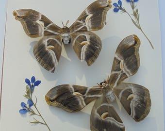 Taxidermy Moths