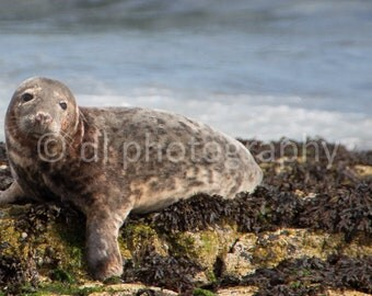 Grey Seal Wall Art