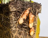 Live Turmeric Plant - Established Medinical Rhizomes - Naturally & Organically Grown - Quality Assured - Chemical Free Permaculture Plant