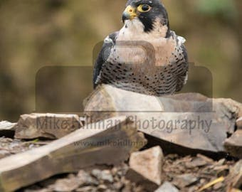 """Mounted Photographic Display Print - Peregrine Falcon #1 (A4 print in 14"""" x 11"""" Mount, Unframed)"""