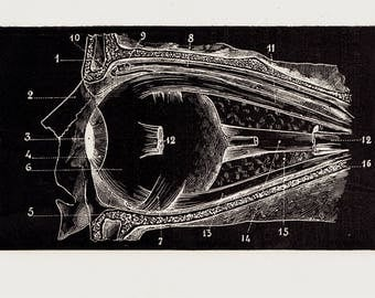 Antique Print from 1886 ANATOMY Chart Print  Lithograph of a eye, eyeball, in black and white, Vintage Anatomy Print