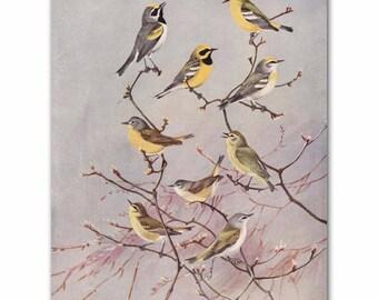 "Bird Wall Art, Bird Print (Vintage Bird Illustration, Antique Bird Artwork Gift) --- ""Yellow Warblers"" No. 81"