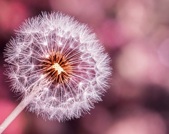 Pink dandelion print, fine art dandelion photography, dandelion wall art, dandelion photo, pink dandelion photo, dandelion art