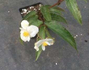 Begonia salicifolia
