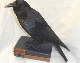 Taxidermy crow,best seller,, Made to order