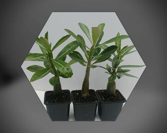 Desert rose plant, Three nice adeniums, free shipping,well rooted succulent as pictured, makes the perfect gift!