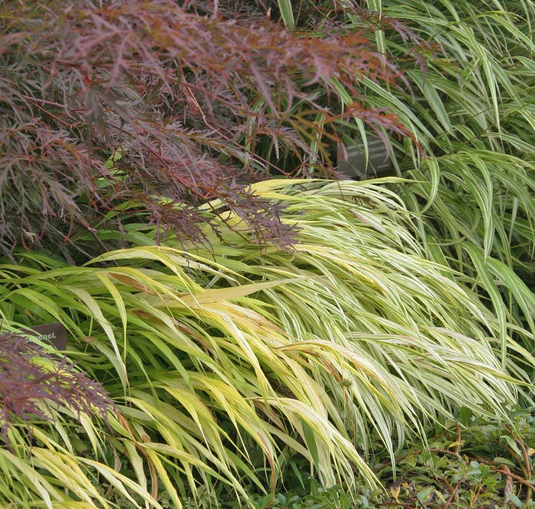 Special order for 15 all gold japanese forest grass for Japanese mounding grass