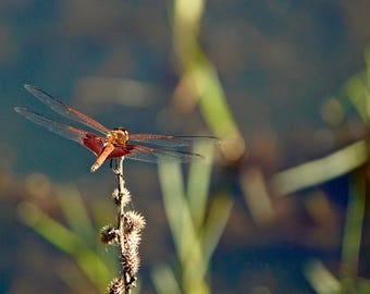Dragonfly by the Pond, Alabama Photography Print