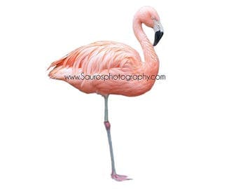 Flamingo bird, Flamingo overlay, instant download, Digital file, Photoshop overlay, Bird, Flock, cutout, pink and white, Bird, Flamingo,