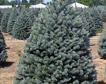 LIVE Dwarf Alberta Spruce aka Picea conica Live Plants Fit 5 Gallon Pot - MOR