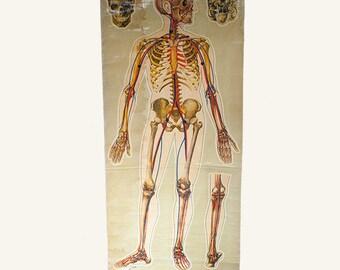Vintage St Johns Human Anatomy Wall Chart
