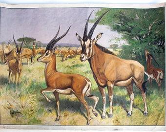 Antelope, educational chart , 1891