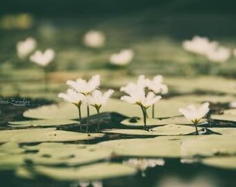 Life on Water Pond - Original Floral Photograph Digital Download Macro Fine Art Print Home Decor Flower Petals White Green Lily Leaf Garden