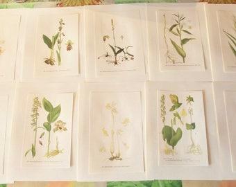 10 boards from Gaston Bonnier original 1964 Chamorchis alpina Ophrys insectifera Cephalanthera damasonium Epipactis Orchid