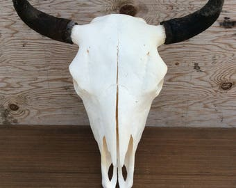 Authentic Cow Bison Buffalo Skull