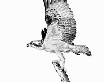 Osprey with Catch - Fine Art Print