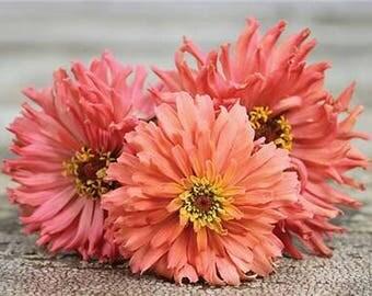 Zinnia 'Pink Senorita' Seeds / Zinnia elegans