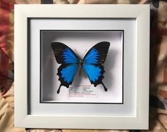 Framed blue butterfly taxidermy