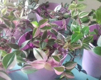 Tradescanta verigated pink and green traliing plants