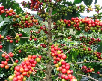 Coffee arabica, Coffea arabica seeds!  100 Seeds Pack