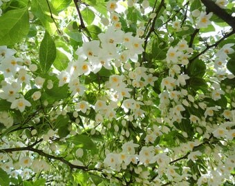 10 Styrax japonicus Seeds, Styrax japonicus, Japanese snowbell Seeds