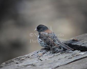 The Dark-eyed Junco Print, Bird print, California Art, Bird Poster, Woodland Art, Bird Decor, Bird Art, Nature Print, Nature Photography