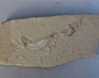 fossil fish - Scombroclupea - 100 Mio.J.  - Lebanon