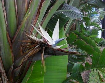 """Giant White Bird of Paradise (Strelitzia reginae)-  1 Plant -1 to 2 Feet Tall - Ship in 4"""" Pot"""