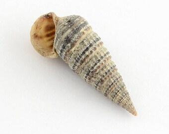 Set of 10 shells spiral hole 15 ~ 23 x 8 x 8 mm
