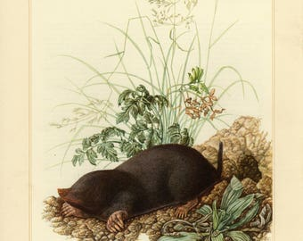 Vintage lithograph of the European mole from 1956