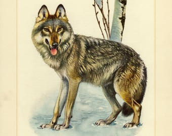 Vintage lithograph of the gray wolf from 1956