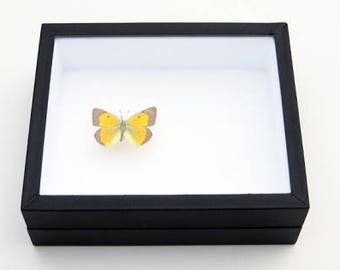 Insect box - 15x18cm black - to store your butterflies and insects.
