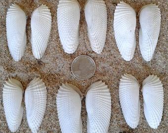 Small Angel Wing Shells - 6 Sets (12 Shells)