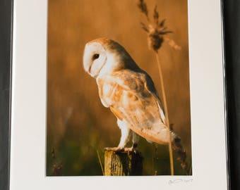 "Barn Owl Portrait  ""Waiting"" Photographic Print"