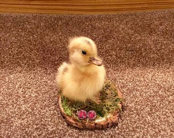 Taxidermy Duckling on a natural wood slice