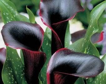 Black Calla lily - CALLA LILLIES Cantor Black seeds 100 pcs