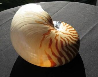Brown Nautilus Sea Shell , Home Decor