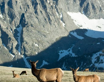 Original Print of Elk in the Mountains - Hannah Bergstrom Co Photography - Color - Rocky Mountain National Park