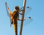 Four Spotted Chaser Blank...