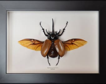 Male Eupatorus gracillicornis giant insect with extraordinary shapes, wingspan 155 mm, length 80 mm legless exceeding!