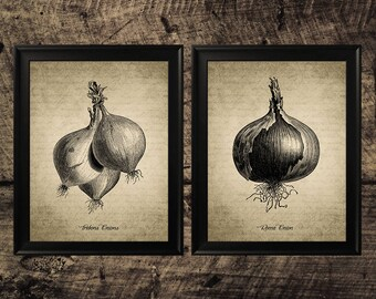 Vintage Onion print, Kitchen decor, vintage botanical wall art, Onion printable art