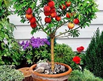 NEW Mini Peach Tree - Red Haven