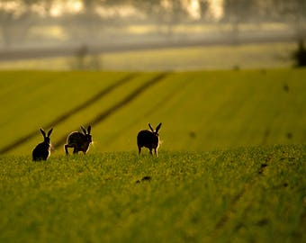 Wildlife Photographic signed mounted A4/A3 Prints of Hares