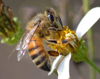 Framed Honeybee